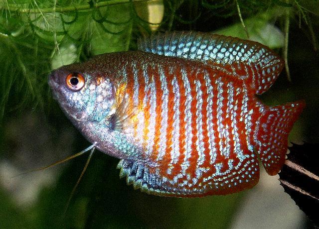 Trichogaster lalius maschio