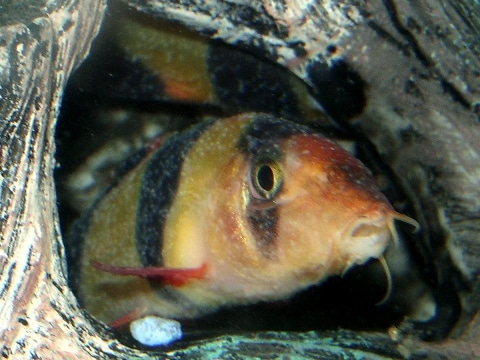 Pesce pagliaccio o Botia (Chromobotia macracantus) affetto da ictioftiriasi