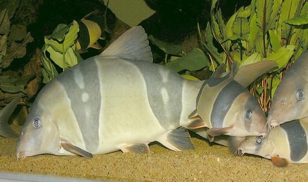 Pesce pagliaccio o Botia (Chromobotia macracanthus) adulto