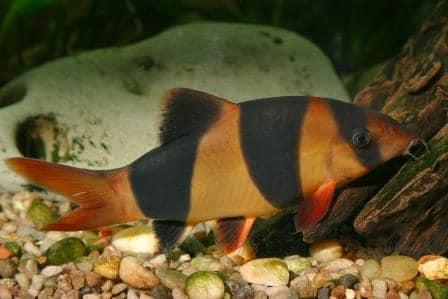 Pesce pagliaccio o Botia: Chromobotia macracanthus