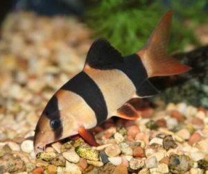 Pesce pagliaccio o Botia (Chromobotia) varietà del Borneo