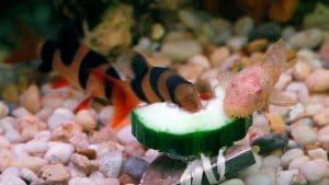 Un Chromobotia macracantus che divora una zucchina insieme a un Plecostomus