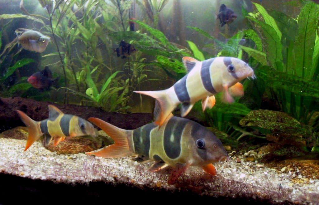 Pesci pagliaccio o Botia (Chromobotia macracantus) che si inseguono