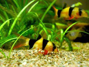Giovane pesce pagliaccio o Botia (Chromobotia), varietà di Sumatra