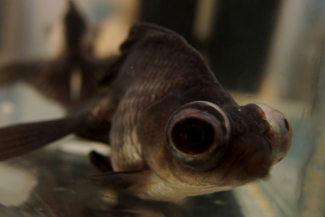 occhi opaco pesci