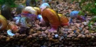 Lumache negli acquari di acqua dolce